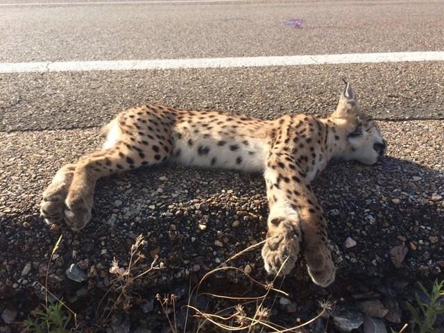 Muere un lince atropellado en la N-442 en Mazagón, el segundo en dos días en Andalucía