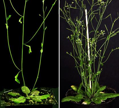 Uno de los aspectos fundamentales para mejorar el rendimiento de los cultivos es el patrón de ramificación de las plantas