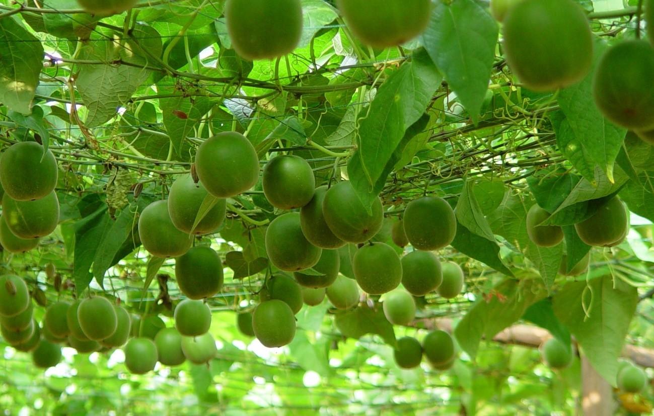 Fruto del monje: el edulcorante que compite con la Stevia