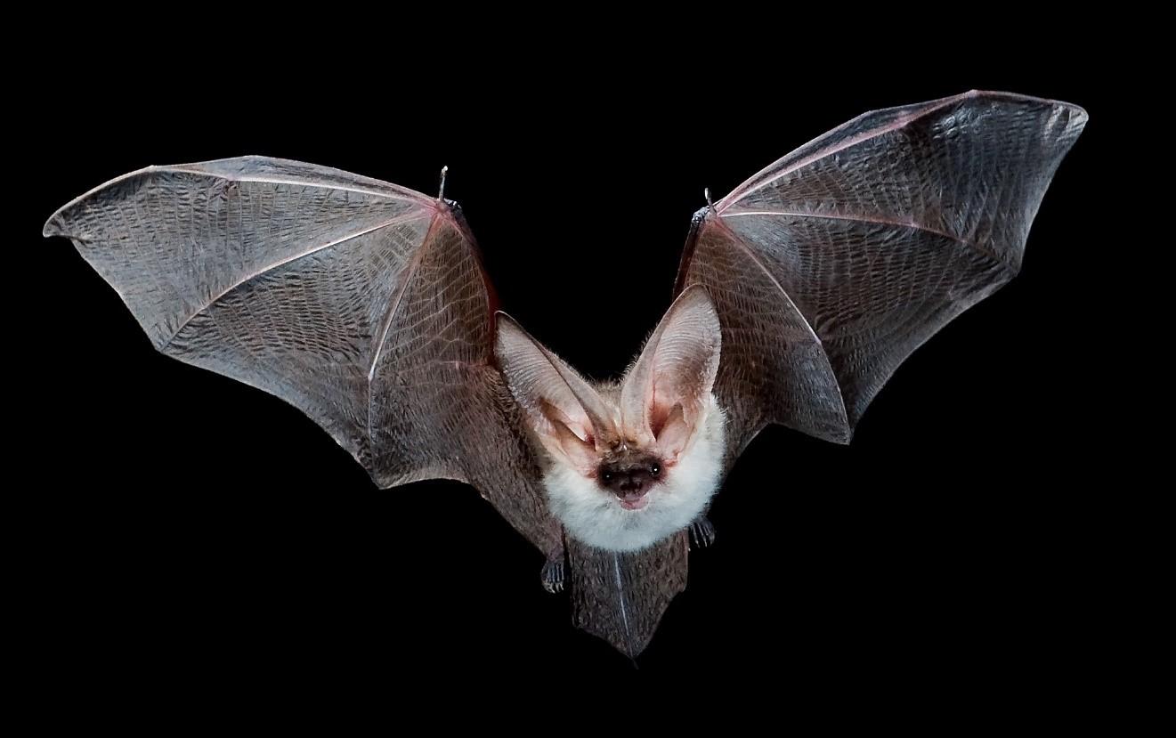 El cambio climático podría acabar con los murciélagos más vulnerables