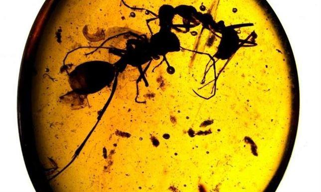 Jerarquía y especialización, hormigas en ámbar muestran conducta ...