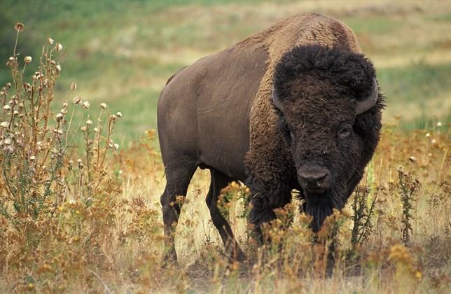 El bisonte llegó a América del Norte hace al menos 130.000 años