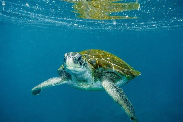 El Centro de Interpretación del Mar de Sant Antoni acoge un taller para proteger la anidación de tortugas marinas