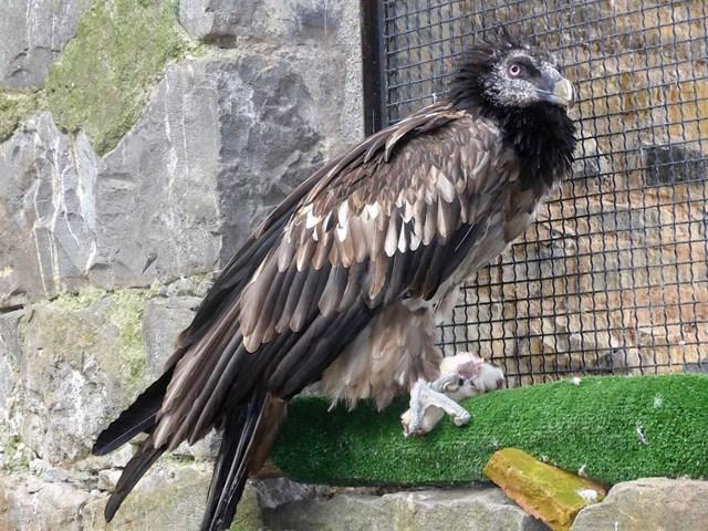 El Eco Museo de la Fauna Pirenaica de Aínsa acoge un ejemplar irrecuperable de quebrantahuesos