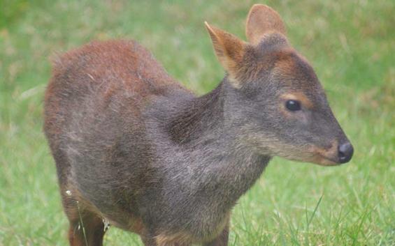 Chile: El pudú está en situación crítica en la Región del Maule