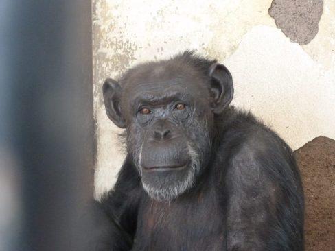 Sentencia histórica: se reconoce el Habeas Corpus a la chimpancé Cecilia