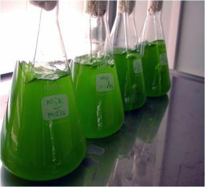 Determinan la capacidad de las microalgas para depurar biogás