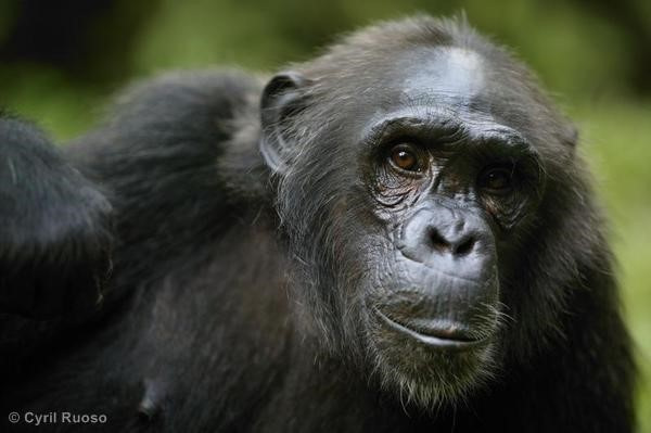 El aceite de palma 'acorrala' a primates y ungulados
