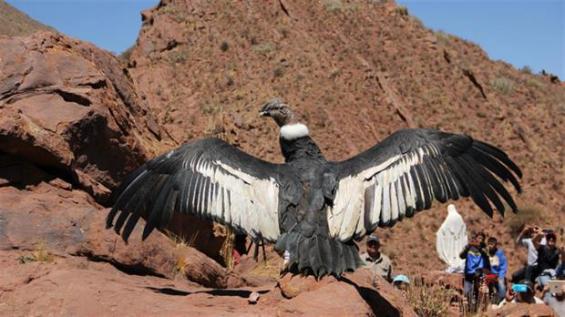 Argentina: Tres cóndores andinos fueron liberados en Río Negro