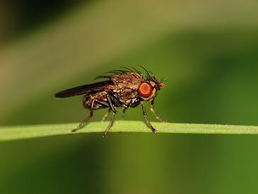 La mosca de la fruta utiliza un sistema de rastreo similar al de los vertebrados