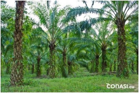 ¿Que hay detrás del aceite de palma?