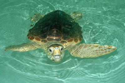 Devuelven al mar una tortuga boba encontrada con anzuelos clavados