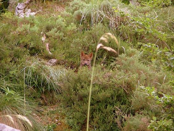 El Principado de Asturias mata una camada de cachorros de lobo recién nacidos en el Parque Natural de Ponga