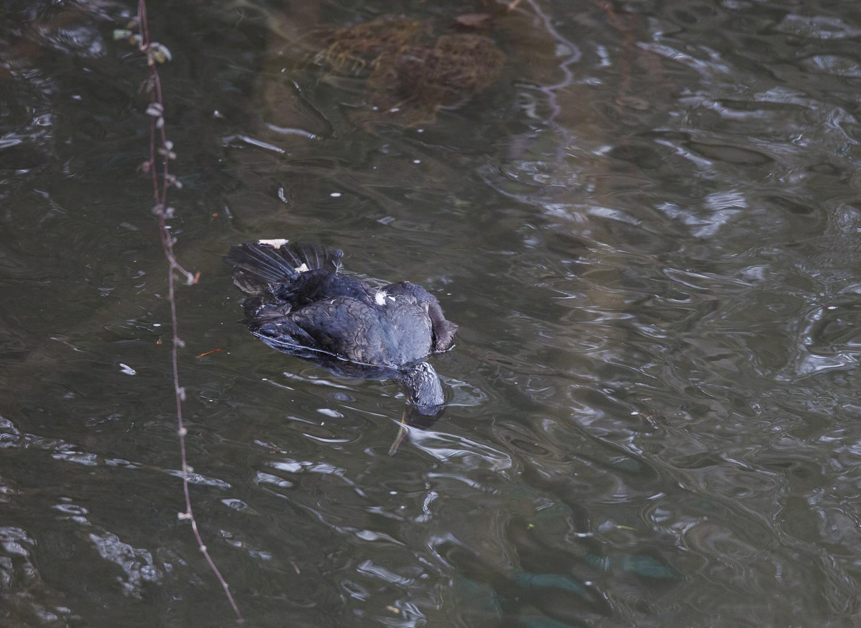 Asturias.  El Principado continua un año mas con las matanzas de cormoranes en los rios.