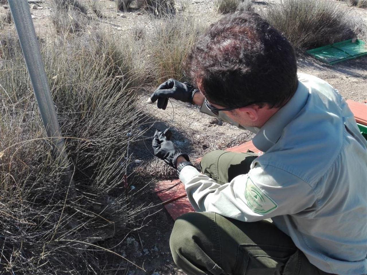 Almería, descubren una docena de lazos de caza prohibidos en un paraje del Desierto de Tabernas