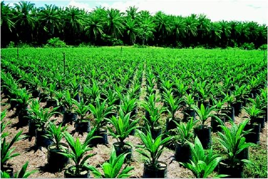 Las plantaciones de palma aceitera provocan la infertilidad de los suelos tropicales
