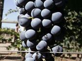Los residuos de la uva se reinventan
