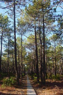Innovación para combatir las plagas forestales en los bosques de pinos