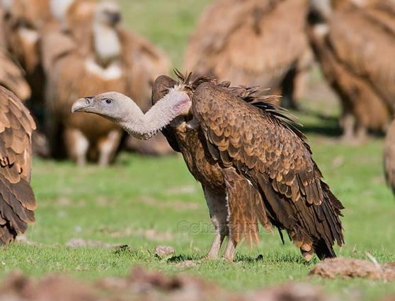El fármaco veterinario diclofenaco que casi extermina a los buitres en Asia, también mata águilas, y ahora se aprueba en España
