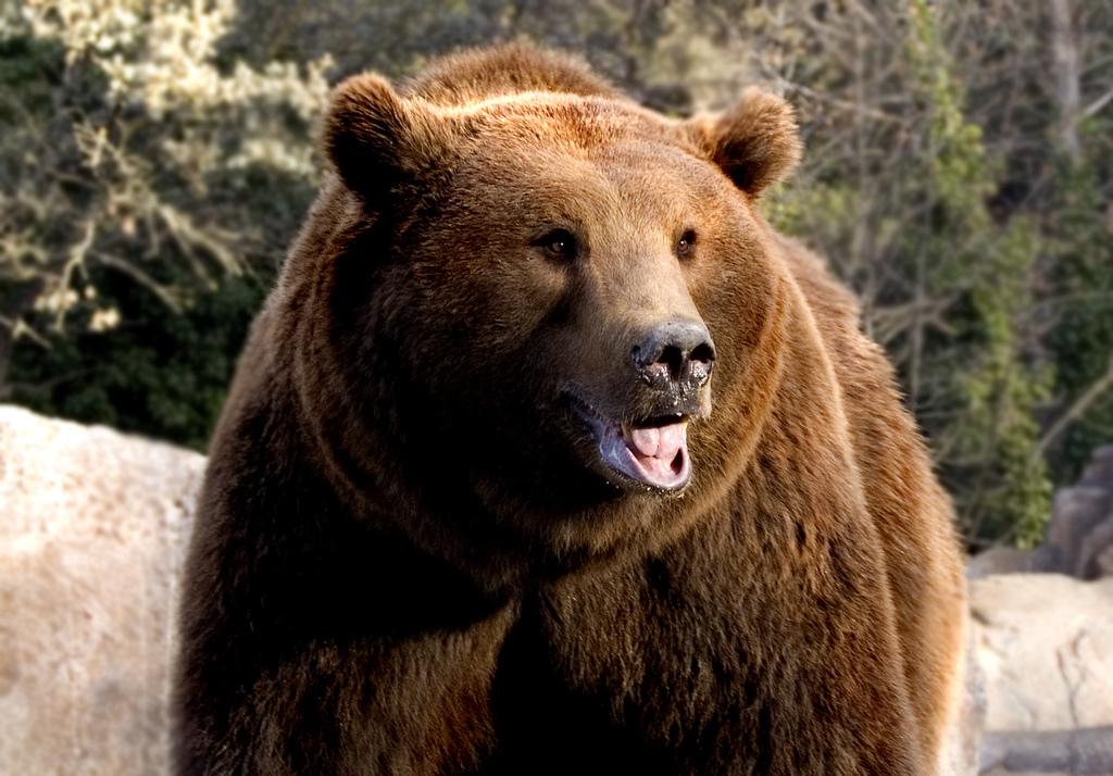 El MARM subvenciona un proyecto para fomentar la conservación del oso pardo y su hábitat