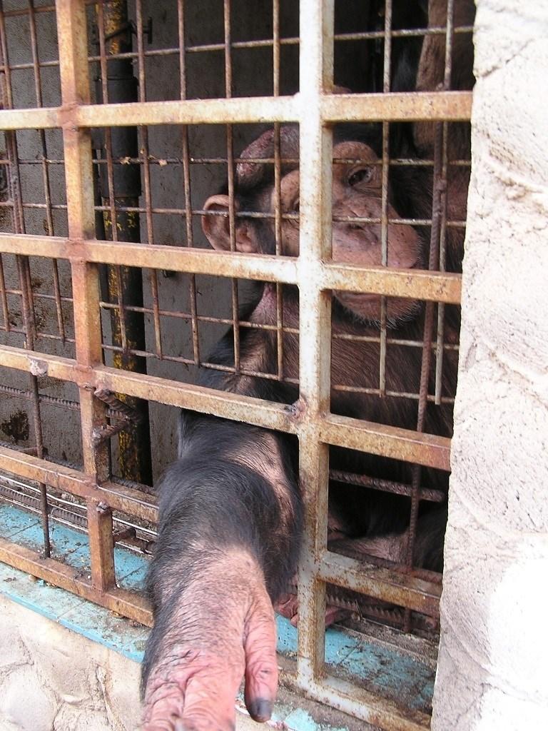 España importó 2.500 primates con fines biomédicos en 2016, y conservacionistas piden acabar con esta práctica
