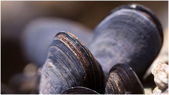 Extinción de mejillones por acidificación oceánica?