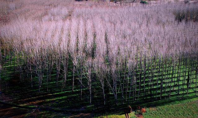 Árboles 'híper-rentables' para la biomasa