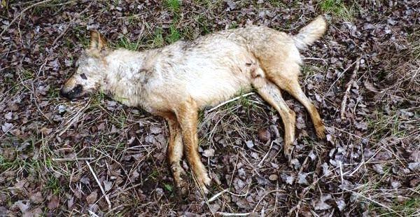 Podemos en Cantabria 'combatirá' la decisión de Medio Rural de que el lobo siga siendo especie cinegética
