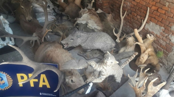 Argentina: Hallaron 450 animales embalsamados en Santa Fe