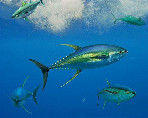 En cinco años se colapsará la población de atún en el Índico
