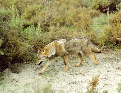 El Observatorio Justicia y Defensa Animal intervendrá en el Parlamento Europeo para denunciar la situación del lobo ibérico en Asturias