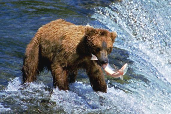 Te descubrimos la cara menos amable del oso pardo