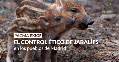 PACMA exige que se apliquen alternativas éticas para el control de jabalíes en pueblos de Madrid