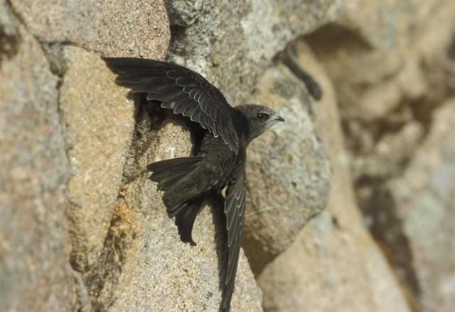 Un programa de voluntariado permite apadrinar polluelos de vencejo hasta que estén maduros para su suelta