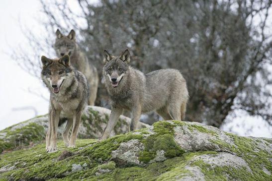 El lobo ibérico al borde de la extinción en Andalucía