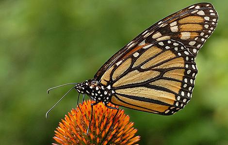 Mariposas amenazadas