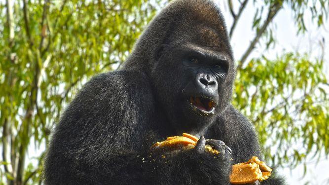 La gorila Virunga celebra su primer año de vida rodeada de su familia, con juegos y una tarta en Bioparc