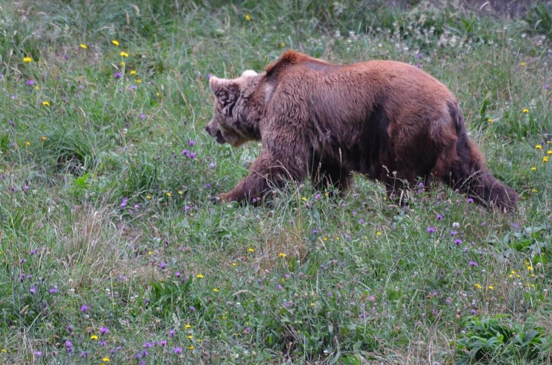 Asturias no quiere favorecer las medidas preventivas para los daños del lobo y el oso