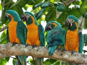 Refugio de guacamayos de garganta azul duplica su población en Bolivia