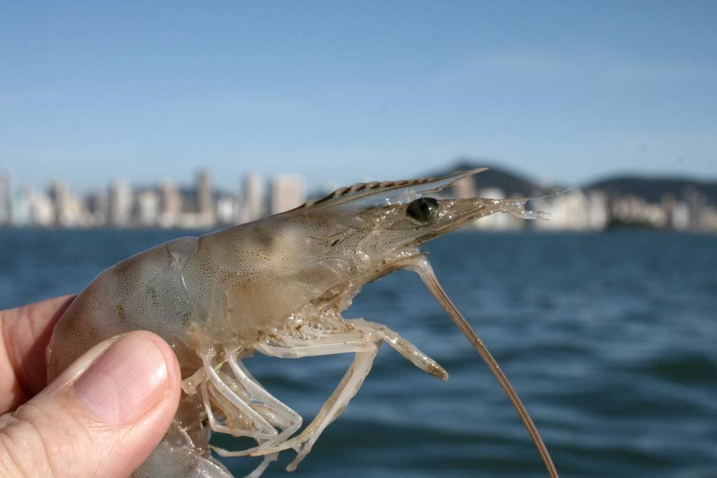 Alagoas autorizó el primer cultivo de camarón marino