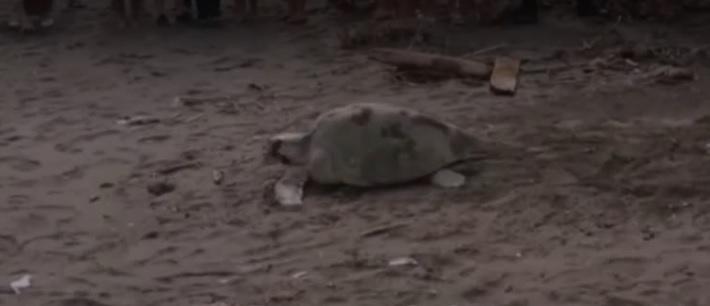 Tortuga llegó a desovar en Puntarenas y generó una gran expectación