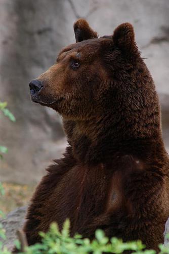 La población de oso pardo sigue aumentando lentamente