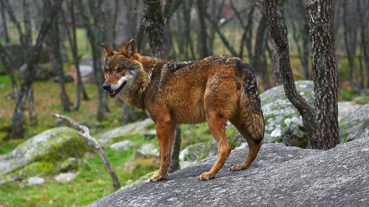 Objetivo: Recuperación del lobo ibérico en Andalucía