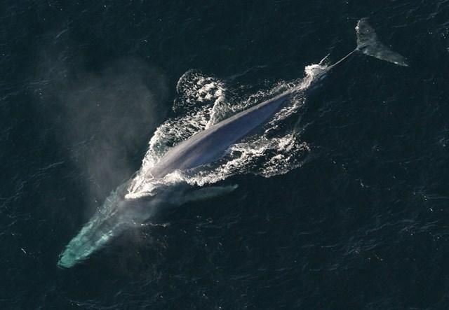 ¿Sabes desde cuando las ballenas han sido gigantes?