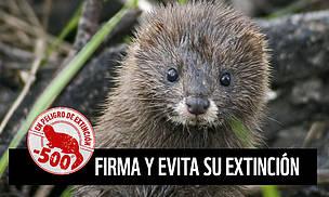 Inminente extinción en España el visón europeo