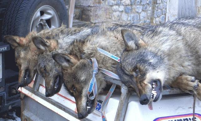 100.000 firmas para evitar la matanza de 190 lobos en Castilla y León y Asturias
