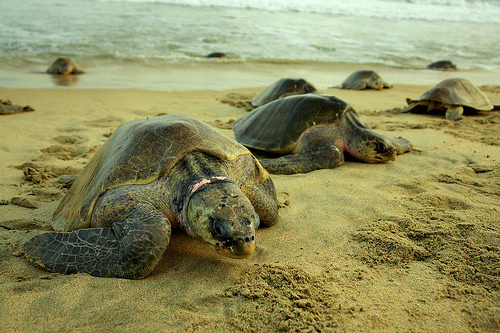 Nacen 102 tortugas 'boba' en la Playa de Cofete