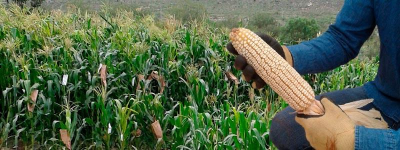 En busca del gen poliembriónico del maíz
