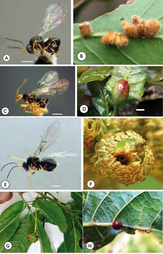 Expertos descubren tres nuevas especies de avispas en Centroamérica, que mantienen una relación estrecha con los robles