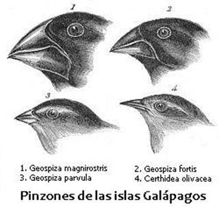 Su pico cambia de tamaño, los pinzones de Darwin muestran la evolución 'in fraganti'